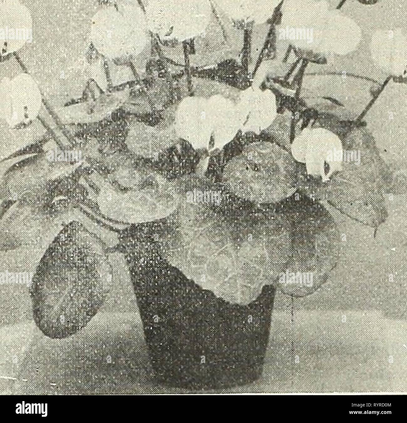 Dreer's wholesale price list  Dreer's wholesale price list : bulbs plants flower seeds vegetable seeds grass seeds fertilizers, tools, etc., etc . dreerswholesalep1908henr_0 Year: 1908  i6 HENRY A. DREER, Philadelphia, Pa. /<£» -**    CYCLAMEN PERSICUM GIGANTEUM Bougainvillea Glabra, William K. Harris. In this new variety the foliage is beautifully variegated, or rather marbled, with creamy white on a dark green ground. These markings are very decided and the proportion of the two colors is almost equally divided. Not only is the plant valuable for decorative purposes in or out of bloom, b - Stock Image