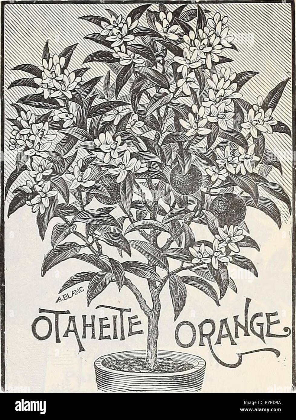 Dreer's quarterly wholesale price list Dreer's quarterly wholesale price list of bulbs plants vegetable and flower seeds for fall sowing implements, fertilizers and requisites . dreersquarterlyw1898henr Year: 1898  Ficns Flastica. 4 in. pots, 10 to 12 ins. high, 5 ' 15 ' ' 6 ' 18 to 24 ' ' (Rubber Plant.) H-50 per doz.; $35.00 per 100. 6.00 ' 50.00 ' 9 00 ' 70.00 ' jDEUTZCA LiiMuINEI. Deutzia Lemoinei. Without doubt one of the most important new hardy plants offered in many years. It is a hybrid between D. gracilis and D. parviflora, and has the advantage over the former of having flowers near - Stock Image