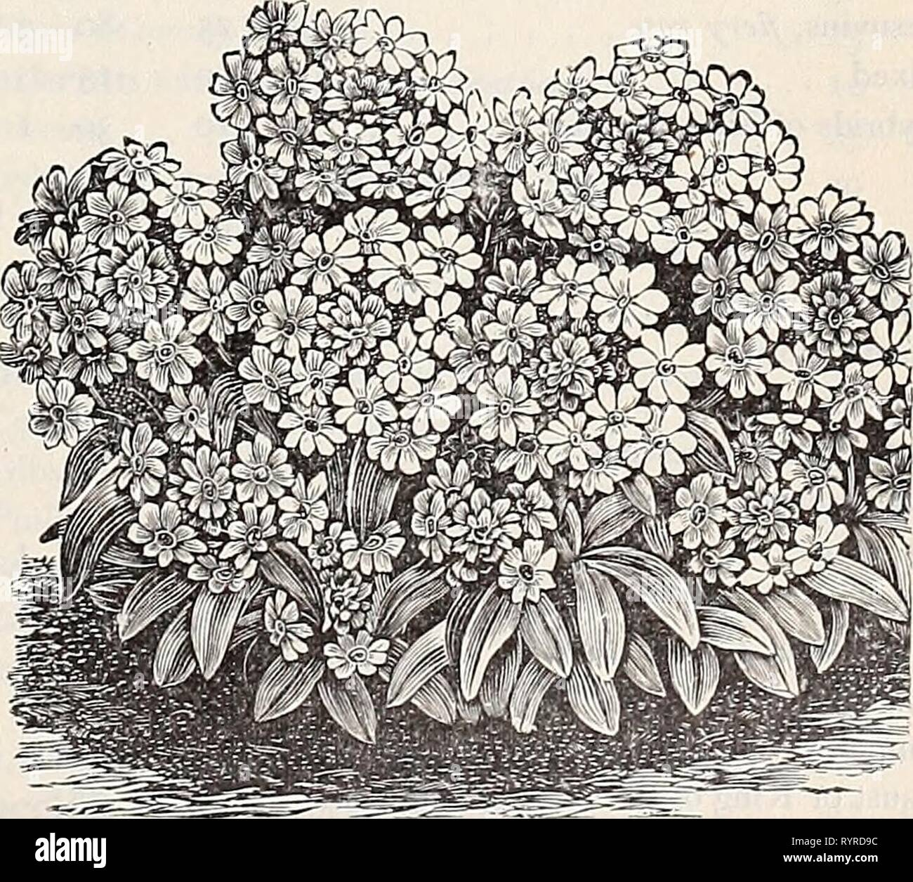 Dreer's quarterly wholesale price list Dreer's quarterly wholesale price list of reliable seeds, plants, bulbs &c . dreersquarterlyw1899henr Year: 1899  Mignonette Machet. Mesembryanthemum tricolor, mixed. . . . cordifolium variegatura Mignonette, large flowering, lb. 40 cts. . . . large flowering, pyramidal Miles' Hybrid Spiral Improved Red Victoria Golden Queen Gabrielle Defiance, very large spikes Machet, t7-ue select stock Parson's white %%%%%%%%%%%%%%%%z.vaon C^yi^^n, highly colored Golden Machet, new, fine Mimosa pudica (Sensitive Plant) Mimulus moschatus [Musk Plant) tigrinus mixed [Mo - Stock Image