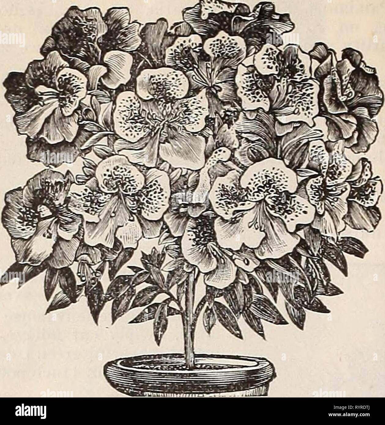 Dreer's quarterly wholesale price list Dreer's quarterly wholesale price list of seeds, plants, bulbs, &c. : summer edition, July 1896 August . dreersquarterlyw1896henr_2 Year: 1896  16 DREER'S WHOLESALE PRICE LIST    Azalea. Import Orders for Azaleas. We are uow bookiug o r - ders for fall d elivery. Buyers who use a quan- tity of this most popular Easter bloom- ing plant, will find it to their interesi to place their orders for next season's wants early, thereby s e - curing the choice of the stock at low- est cost lor transpor- tatiou, as the planis can be forwnrded with perfect safety duri - Stock Image