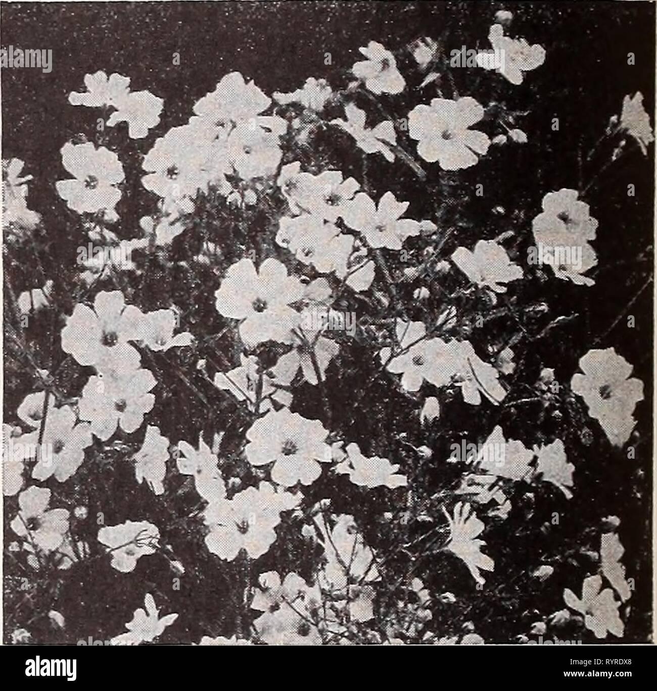 Dreer's wholesale catalog for florists Dreer's wholesale catalog for florists and market gardeners : 1939 winter spring summer . dreerswholesalec1939henr Year: 1939  HENRY A. DREER Annual Flower Seeds WHOLESALE CATALOG Dracaena Indlvisa. The popular center plant for vases, etc. Long, narrow, graceful foliage. Tr. pkt. 15c; oz. 40c; Yi lb. $1.25. Echinocystis Lobata (Wild Cucumber Vine). A quick-growing annual climber. Oz. 15c; Yi lb. 50c. Eschscholtzia—California Poppy Tr. pkt. Oz. Aurantiaca. Golden orange. Very rlch..$0 10 $0 25 Chrome Queen. Rich chrome yellow 10 30 Crimson King. Rich carmi - Stock Image