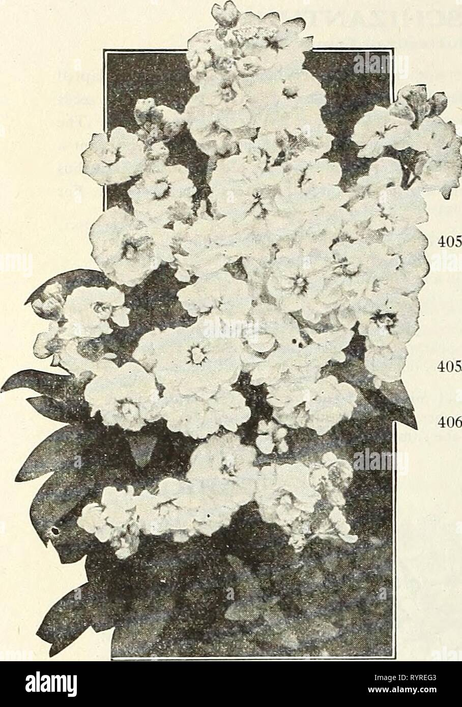 Dreer's mid-summer list 1923 (1923) Dreer's mid-summer list 1923 . dreersmidsummerl1923henr Year: 1923  18 HENRY A. DREER, PHILADELPHIA—FLOWER SEEDS    STATICE (Sea Lavender) Splendid hardy perennials, either for the border or rockery, producing all summer panicles of minute flowers, which can be dried and used for winter bouquets. PER PKT. 3997 Latifolia. Purplish-blue flowers SO 10 4000 Mixed. Containing many sorts. 10 STOKESIA (Cornflower Aster) ) 4051 Cyanea. This is not new, but is a rare and beautiful hardy perennial.  The plant grows about 24 inches high, each bearing from 20 to 30 han - Stock Image