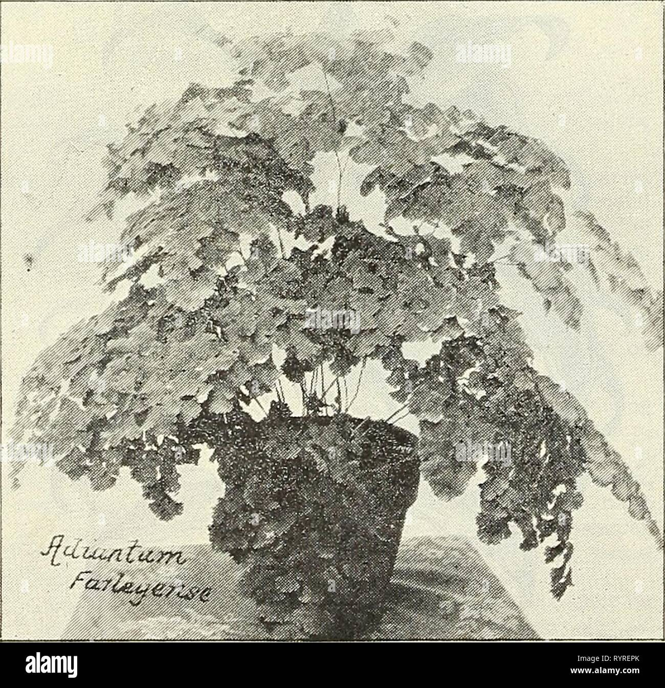 Dreer's wholesale price list  Dreer's wholesale price list : bulbs plants flower seeds, vegetable seeds, grass seeds, fertilizers, insecticides, tools, etc . dreerswholesalep1903henr Year: 1903  DREER'S FINE FERNS. VARIETIES OF SPECIAL MERIT. Adiantum Bensoniana. A most beautiful Maiden-hair, with large fronds and deep green pinnse, which, while closely overlapping, is not so dense as to make the frond appear crowded. It makes a handsome specimen plant, and is a distinct addition to our long list of Adiantums. A fine lot of 3-inch pot plants $2.00 per dozen ; ^15.00 per 100. Adiantum Cnneatnzn - Stock Image