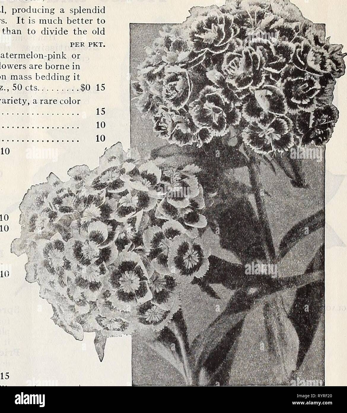 Dreer's midsummer list 1932 (1932) Dreer's midsummer list 1932 . dreersmidsummerl1932henr Year: 1932  DREER'S FLOWER SEEDS FOR SUMMER SOWING 23 Sweet William (Dianthus Barbatus) A well-known, attractive, free-flowering hardy perennial, producing a splendid effect in beds and borders with their rich and varied flowers. It is much better to raise new vigorous young plants from seed every season than to divide the old plants; 18 inches. PER PKt. 4282 Newport Pink. In color it is what florists call watermelon-pink or salmony-rose. Strikingly brilliant and beautiful; the flowers are borne in massiv - Stock Image