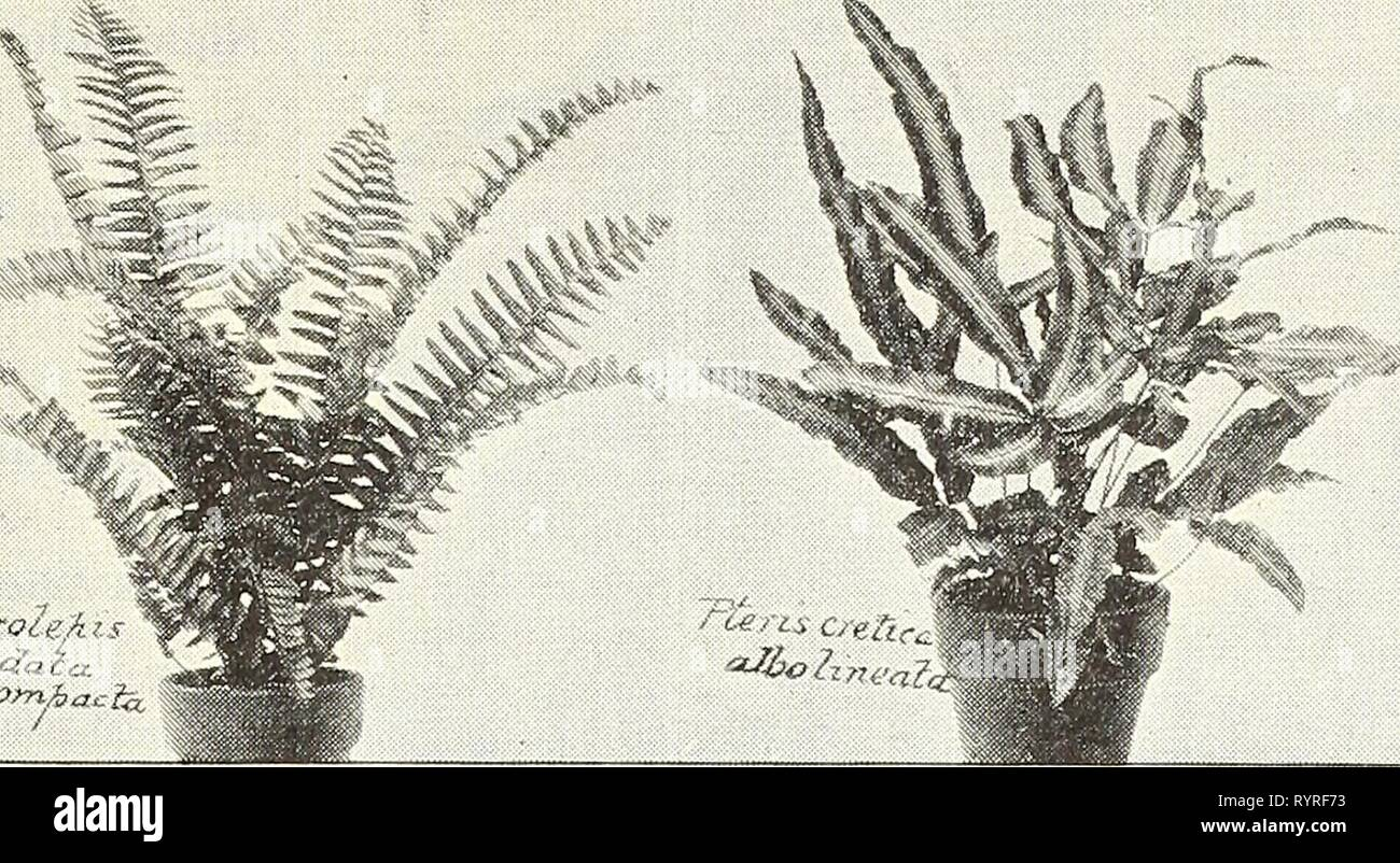 Dreer's wholesale price list  Dreer's wholesale price list : bulbs plants flower seeds, vegetable seeds, grass seeds, fertilizers, insecticides, tools, etc . dreerswholesalep1903henr Year: 1903  The NeTv Boston or Sword Fern. (Nephrolepis Piersoni.) The most important addition to our list of Ferns for many years, and a plant which will supercede that most popular of all decorative plants, the Boston Fern, from which it is supposed to be a sport. The plant possesses the same vigorous growth that is characteristic of the Boston Fern, with long graceful fronds, but with each pinnae or leaflet sub - Stock Image