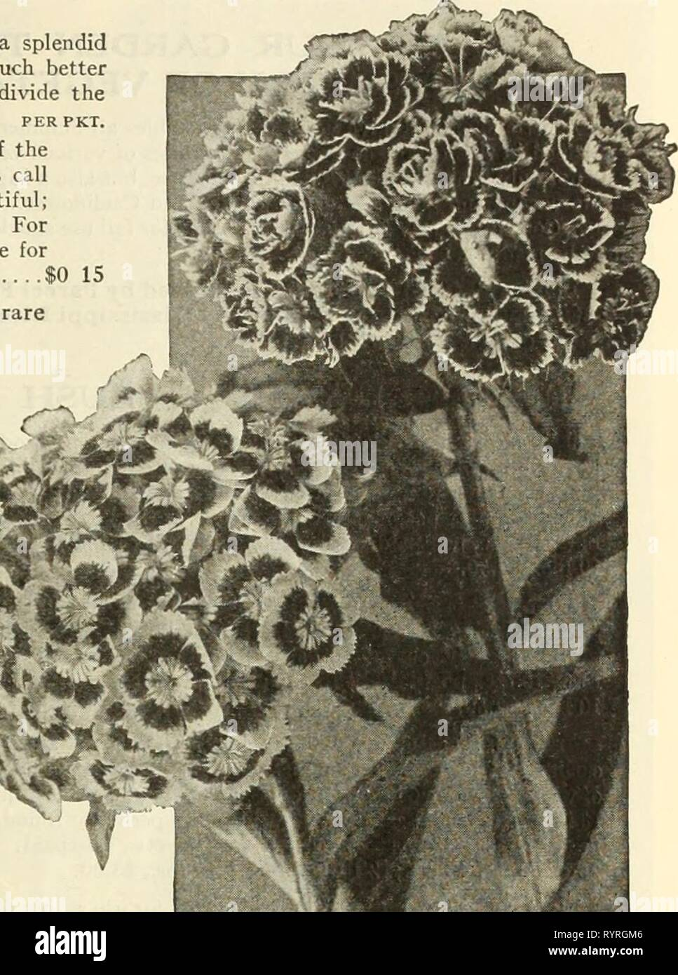 Dreer's mid-summer list 1925 (1925) Dreer's mid-summer list 1925 . dreersmidsummerl1925henr Year: 1925  HENRY A. DREER, PHILADELPHIAâFLOWER SEEDS 21 Sweet William (Dianthus Barbatus) A well-known, attractive, free-flowering hardy perennial, producing a splendid effect in beds and borders with their rich and varied flowers. It is much better to raise new, vigorous, young plants from seed every season than to divide the old plants. per pkt. 4282 Newport Pink. A distinct new color which originated in one of the mky+Jjp*tf''*0%%%%%%%%%%%%%%%%to^5{r far-famed gardens at Newport, R. I. In color it  - Stock Image