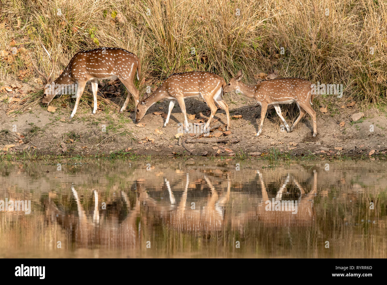 grazing chital cervus axis in india RYRR6D