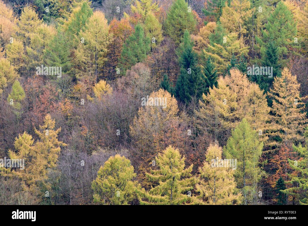 Mixed forest with Larches (Larix), spruces (Picea abies) and Common beeches (Fagus sylvatica) in autumn, Sauerland-Rothaar - Stock Image