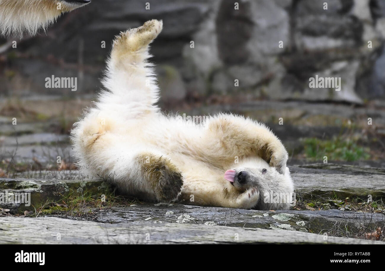 Berlin, Germany. 15th Mar, 2019. The little, still nameless polar bear makes her first exploration tour in the zoo. The polar bear girl was born three and a half months ago. Credit: Britta Pedersen/dpa/Alamy Live News - Stock Image