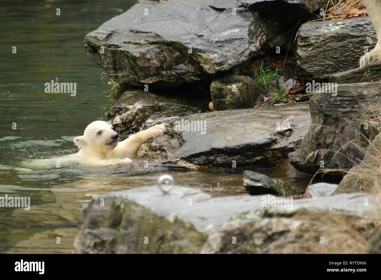 Gottschalk Live Now, the little polar bear is a must the legal