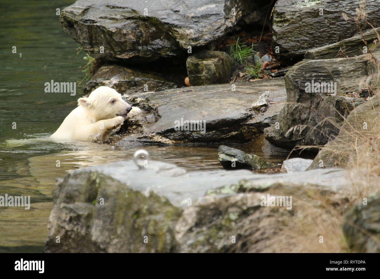 Berlin, Germany, March,15,2019. The female polar bear cub. Baby polar bear in Berlin zoo must first breath.On 1 December 2018, at 2:33 pm, polar bear Tonja (9) gave birth in Tierpark Berlin to the female guinea pig-sized female pup. Credit: SAO Struck/Alamy Live News - Stock Image