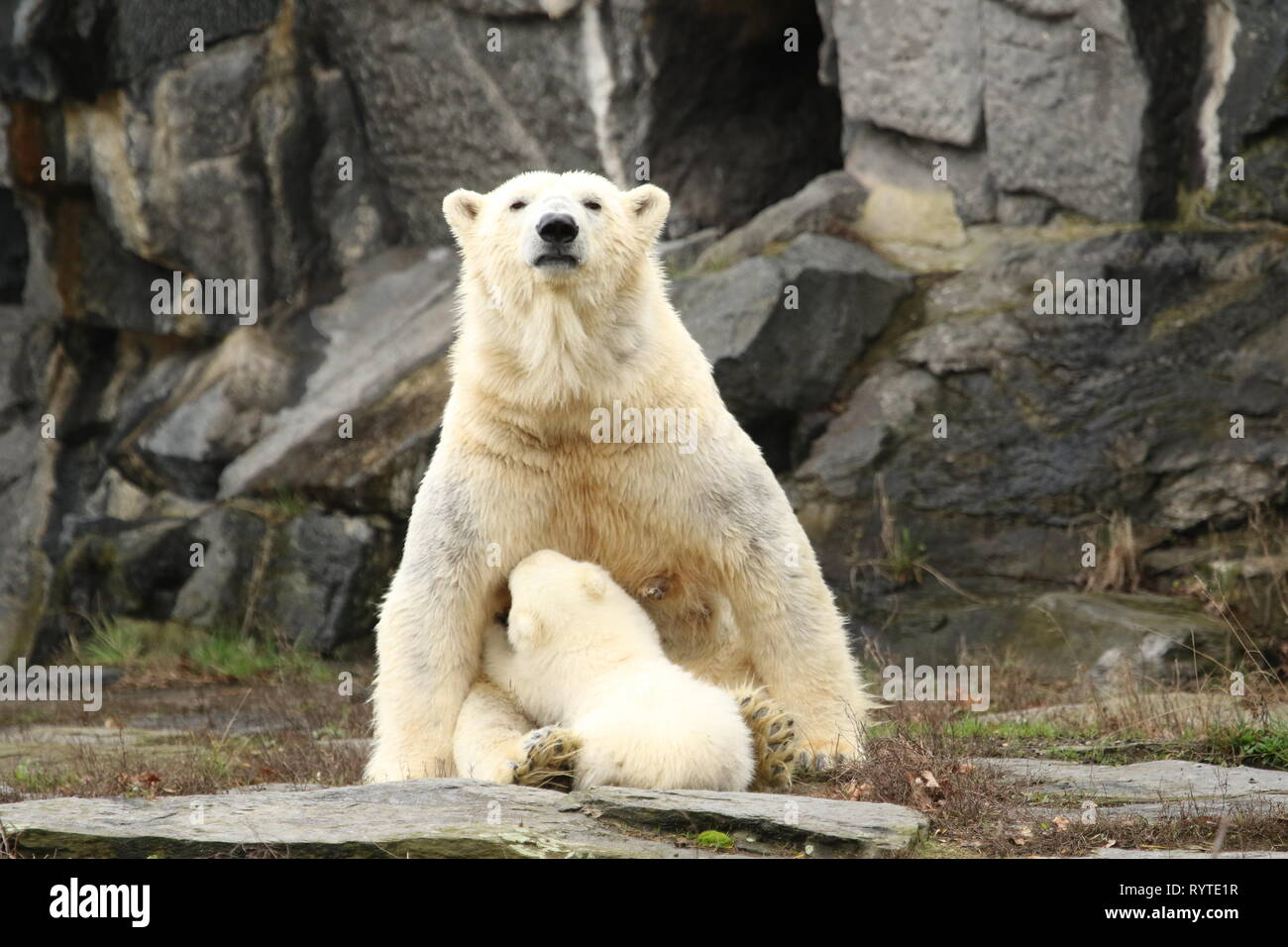 Berlin, Germany, March,15,2019. The female polar bear cub and mother Tonja. Baby polar bear in Berlin zoo must first breath.On 1 December 2018, at 2:33 pm, polar bear Tonja (9) gave birth in Tierpark Berlin to the female guinea pig-sized female pup. Credit: SAO Struck/Alamy Live News - Stock Image