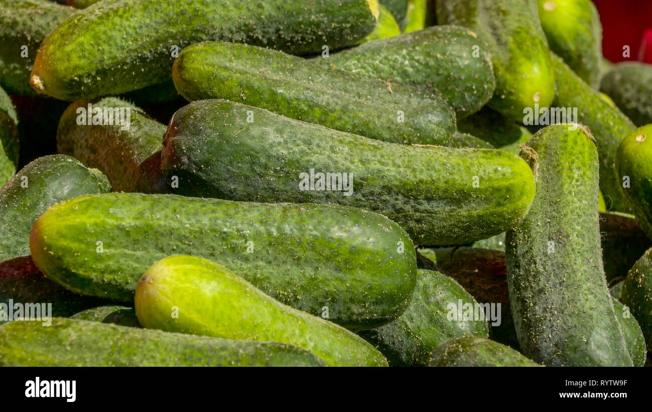 Green fresh cucumbers on the display basket. It is a creeping vine that bears cylindrical fruits that are used as culinary vegetables. - Stock Image