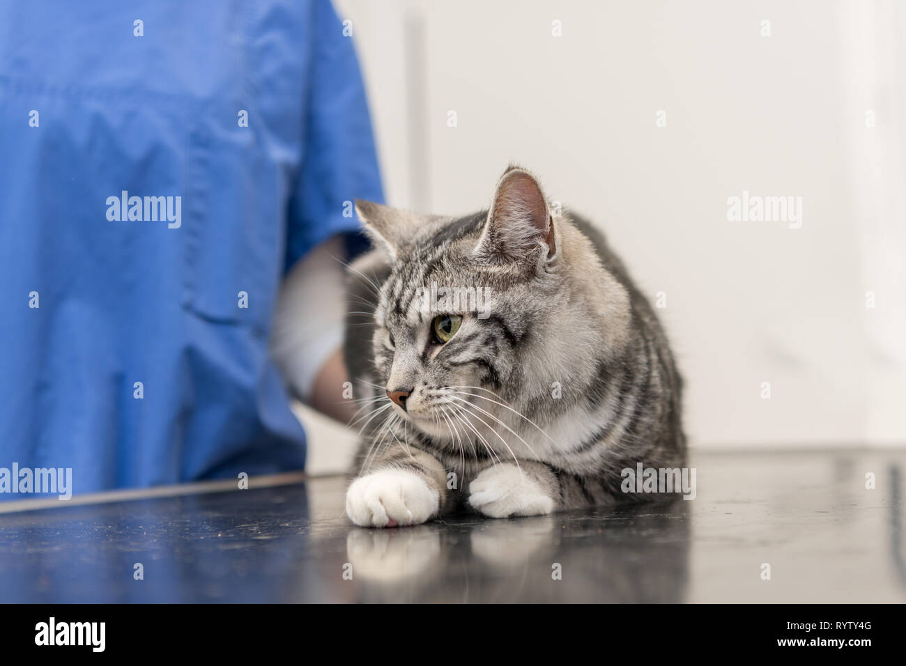 Cute cat in the veterinary practice is examined by the veterinarian - Stock Image