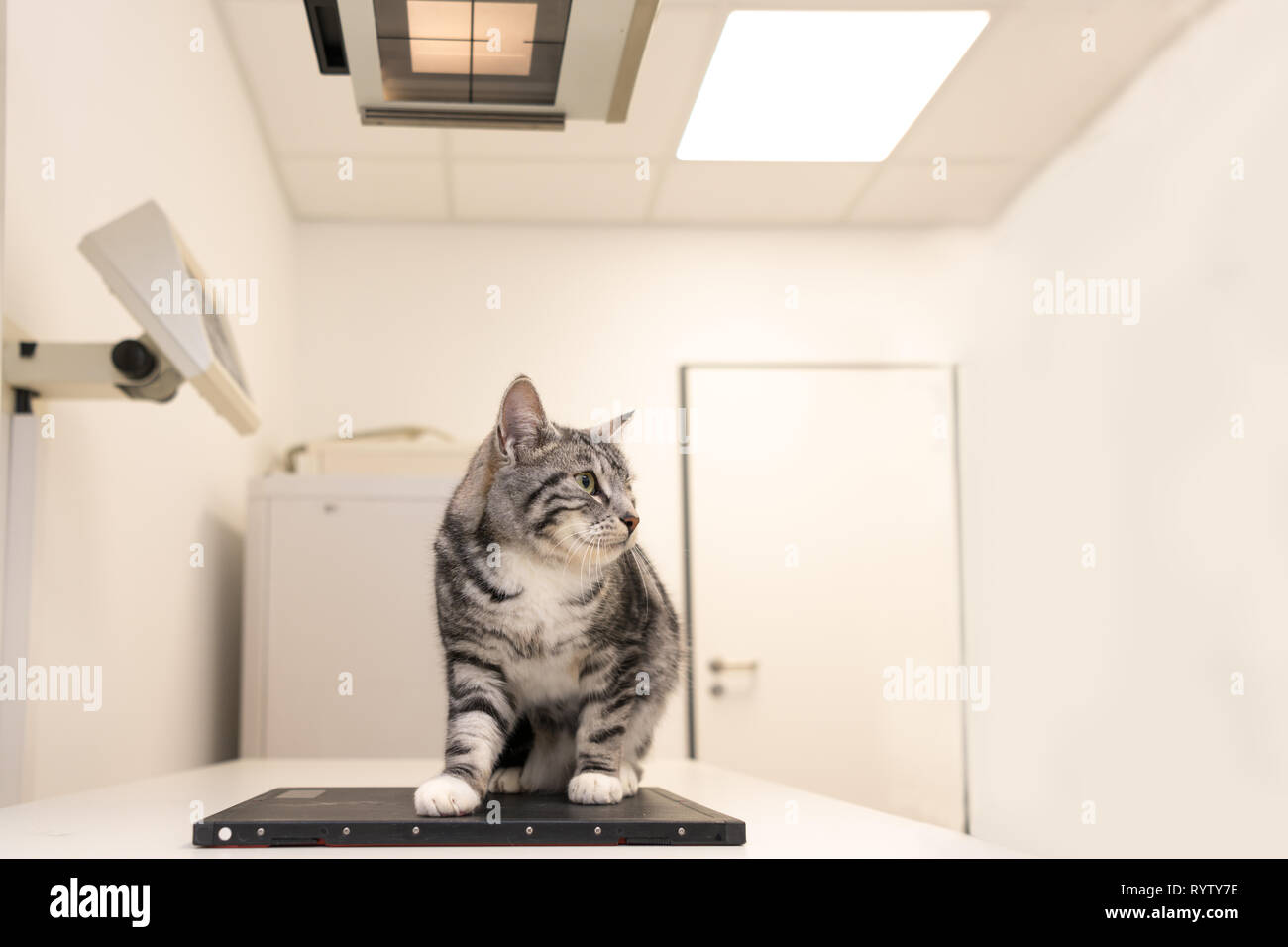 Cat in the veterinary practice. Veterinarian is X-ray the animal - Stock Image