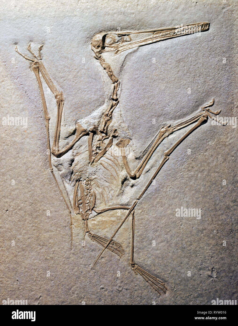 prehistory, fossilization, fossil, zoology, Pterodactylus Rochi (Pterosaur), Upper Jurassic, Eichstaett, Additional-Rights-Clearance-Info-Not-Available - Stock Image
