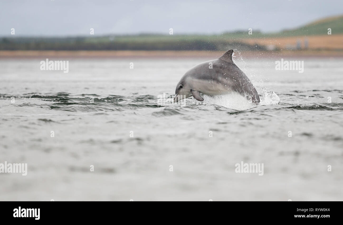 Young dolphin playing in the sea with while hunting from migrating Atlantic salmon. - Stock Image