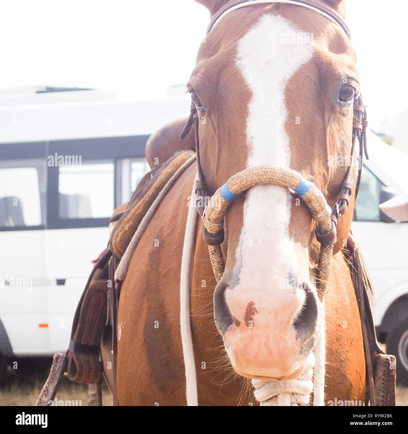 Brown Horse Head With Reins Close Up View Of Beautiful Horse Face Standing Outdoor In Farm And Looking To Camera Stock Photo Alamy