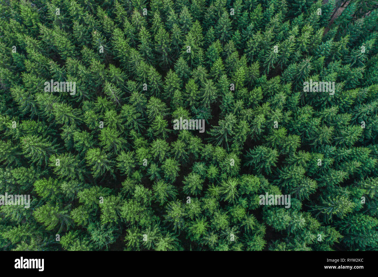 Green conifer treetops in forest - Aerial view, Germany Stock Photo