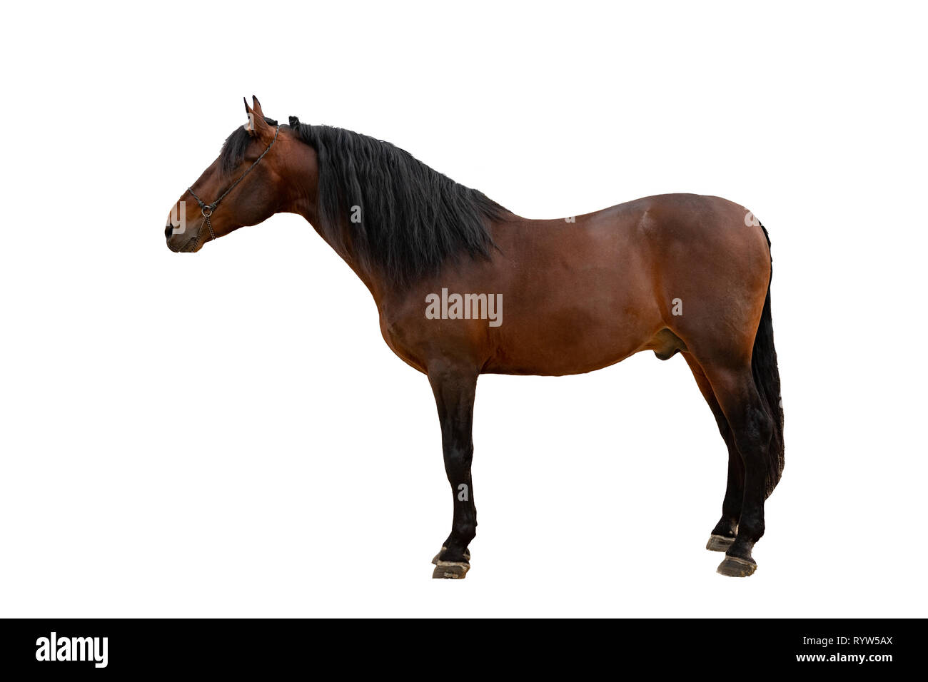 The bay horse isolated on white - Stock Image