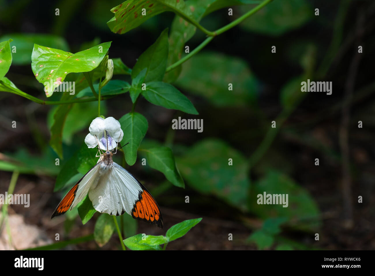 A white and orange butterfly feeding on nectar from a flower. - Stock Image
