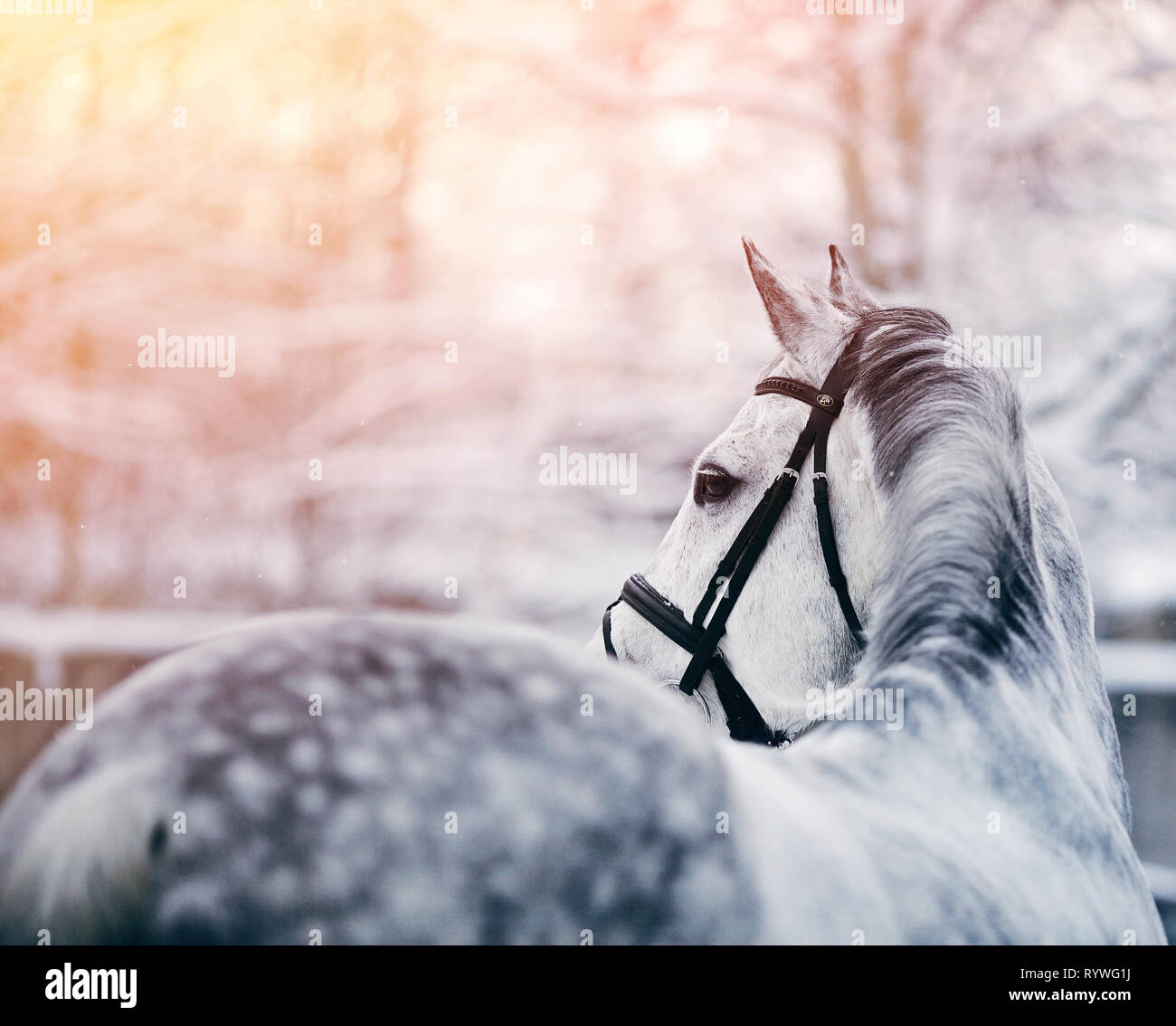 Portrait Of A Gray Sports Horse In The Winter At Sunset Portrait Of A Sports Stallion Thoroughbred Horse Beautiful Horse Stock Photo Alamy