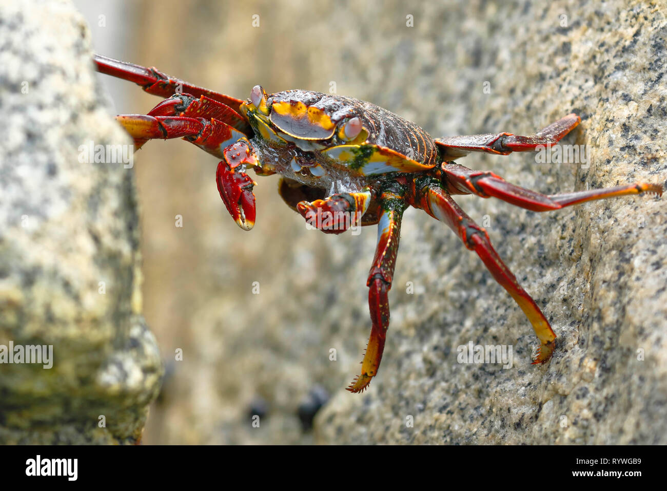 Sally Lightfoot Crab or Rock Crab (Grapsus grapsus) searching for food among the rocks where the waves hit. - Stock Image