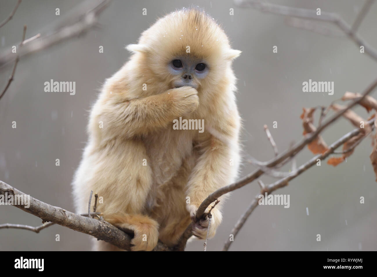 Cute baby Golden Snub-nosed Monkey (Rhinopithecus roxellana) in the snow - Stock Image