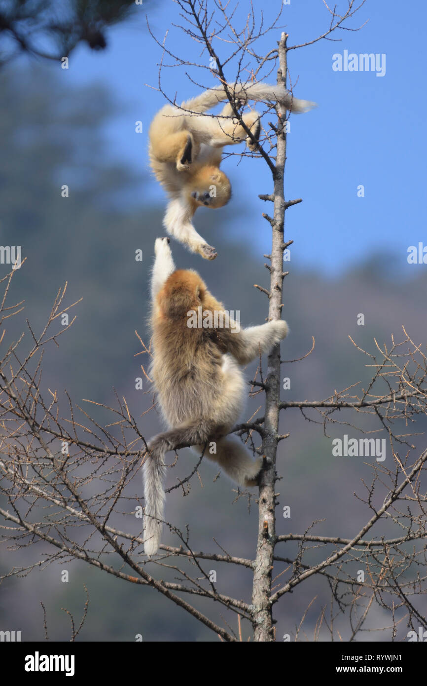 Young Golden Snub-nosed Monkeys (Rhinopithecus roxellana) playing in a tree-top - Stock Image