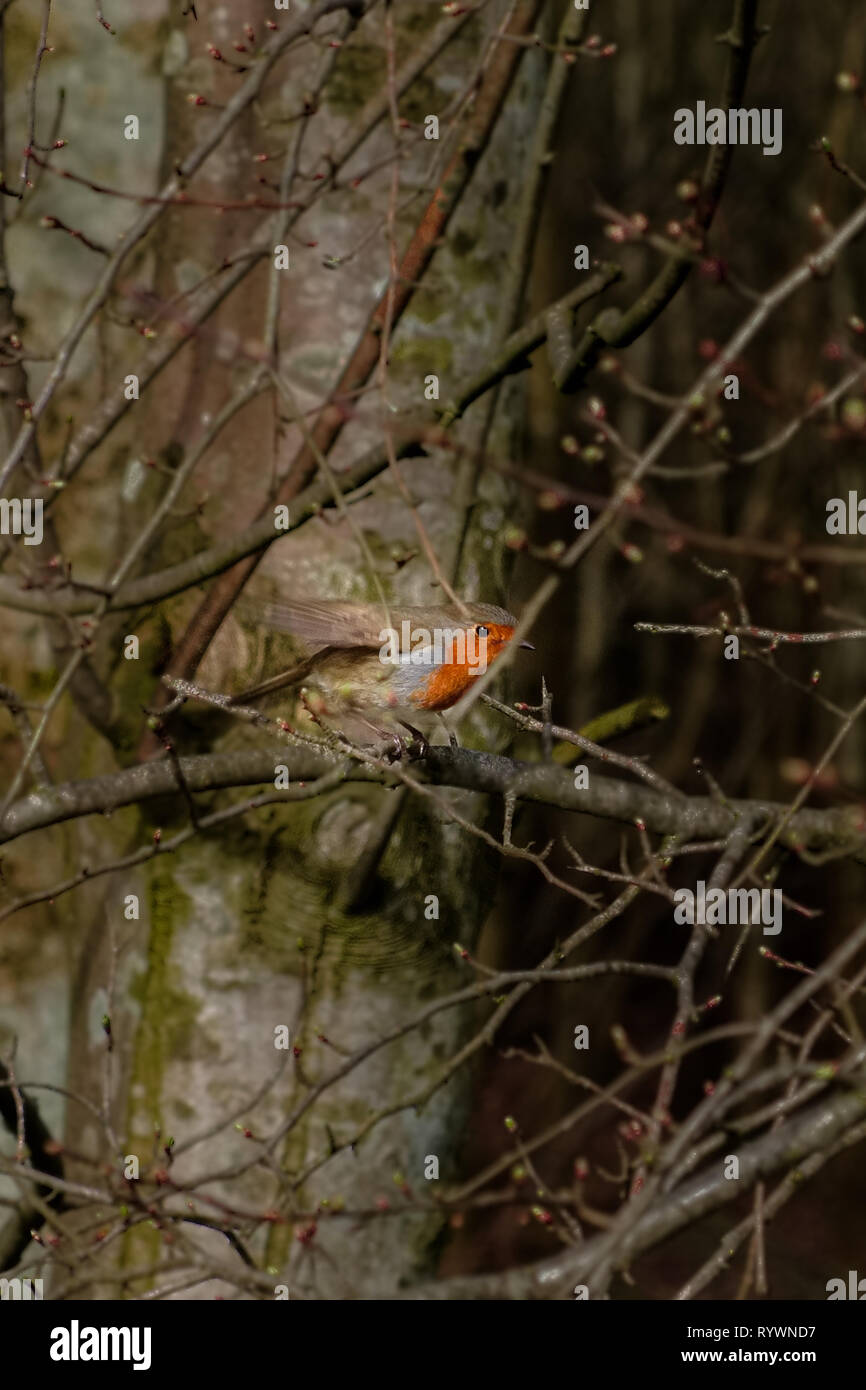 A small robin landed on a twig or branch amongst the dry winter trees in Scotland - Stock Image