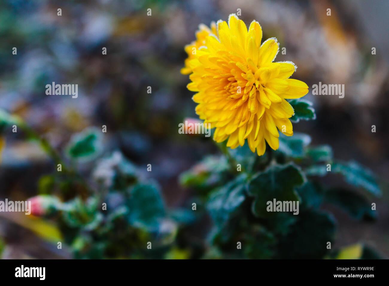 Frozen chrysanthemum yellow flower. Flower of chrysanthemum with frozen buds on green background. Chrysanthemum inflorenscence in Krivoy Rog, Ukraine Stock Photo