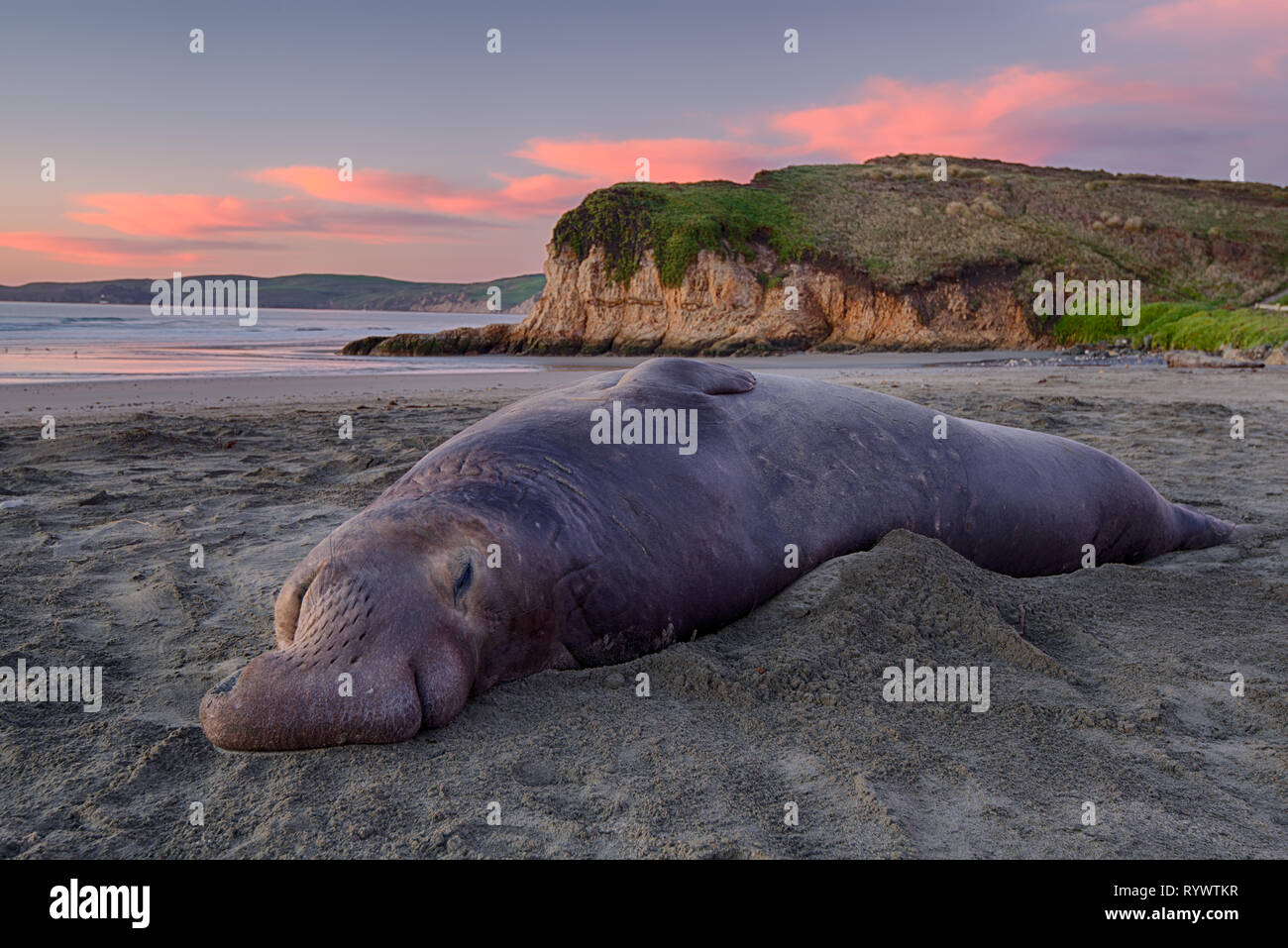 A bull elephant seal snoozes at the dawn of a new day. - Stock Image