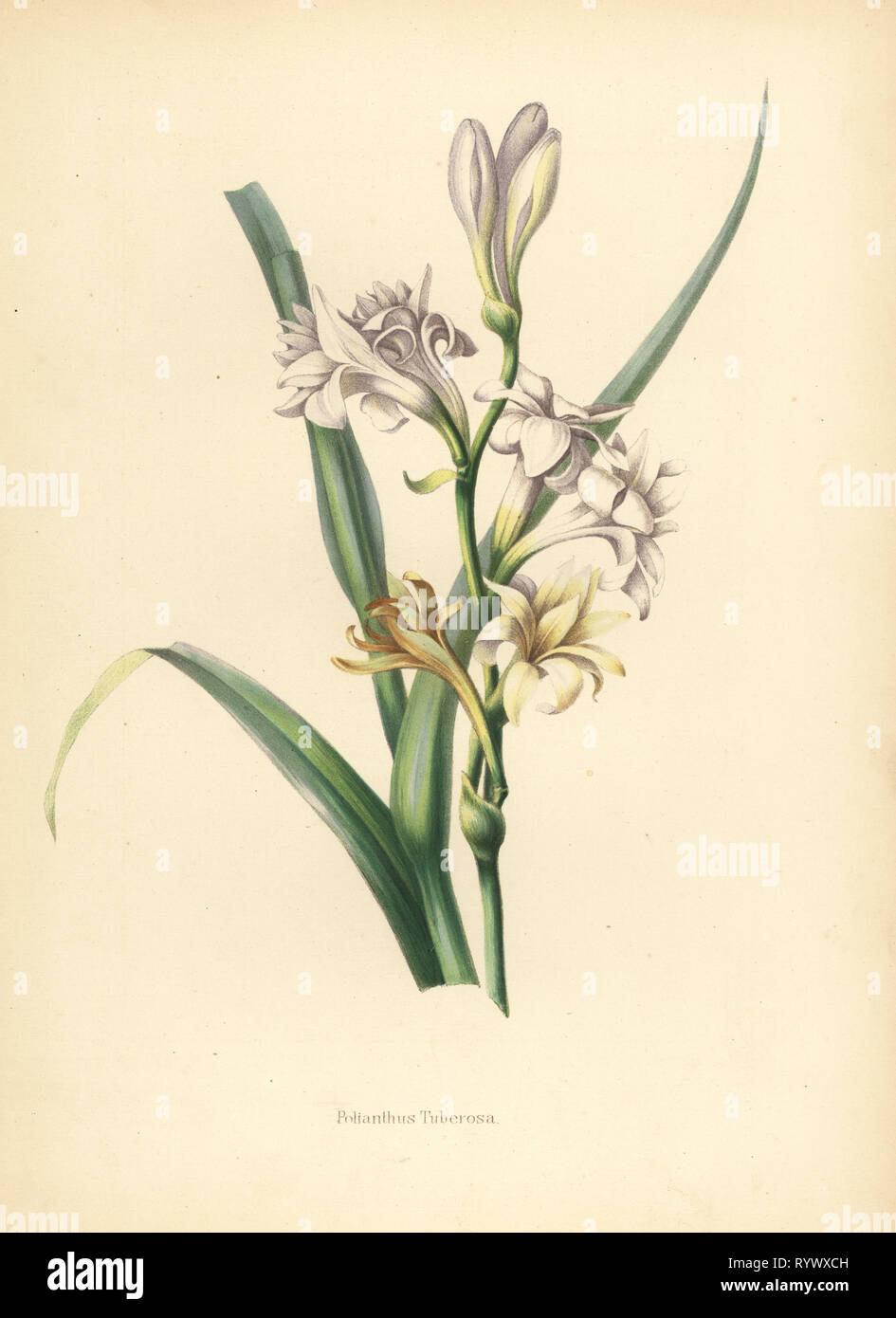 Tuberose, Polianthes tuberosa (Polianthus tuberosa.). Chromolithograph after a botanical illustration by Emily Eden from her Flowers from an Indian Garden: Second Series: Hope, Breidenbach & Co, Dusseldorf, 1860s. Eden was an English female aristocratic writer, novelist and traveler who accompanied her brother George in India from 1836 to 1842. - Stock Image