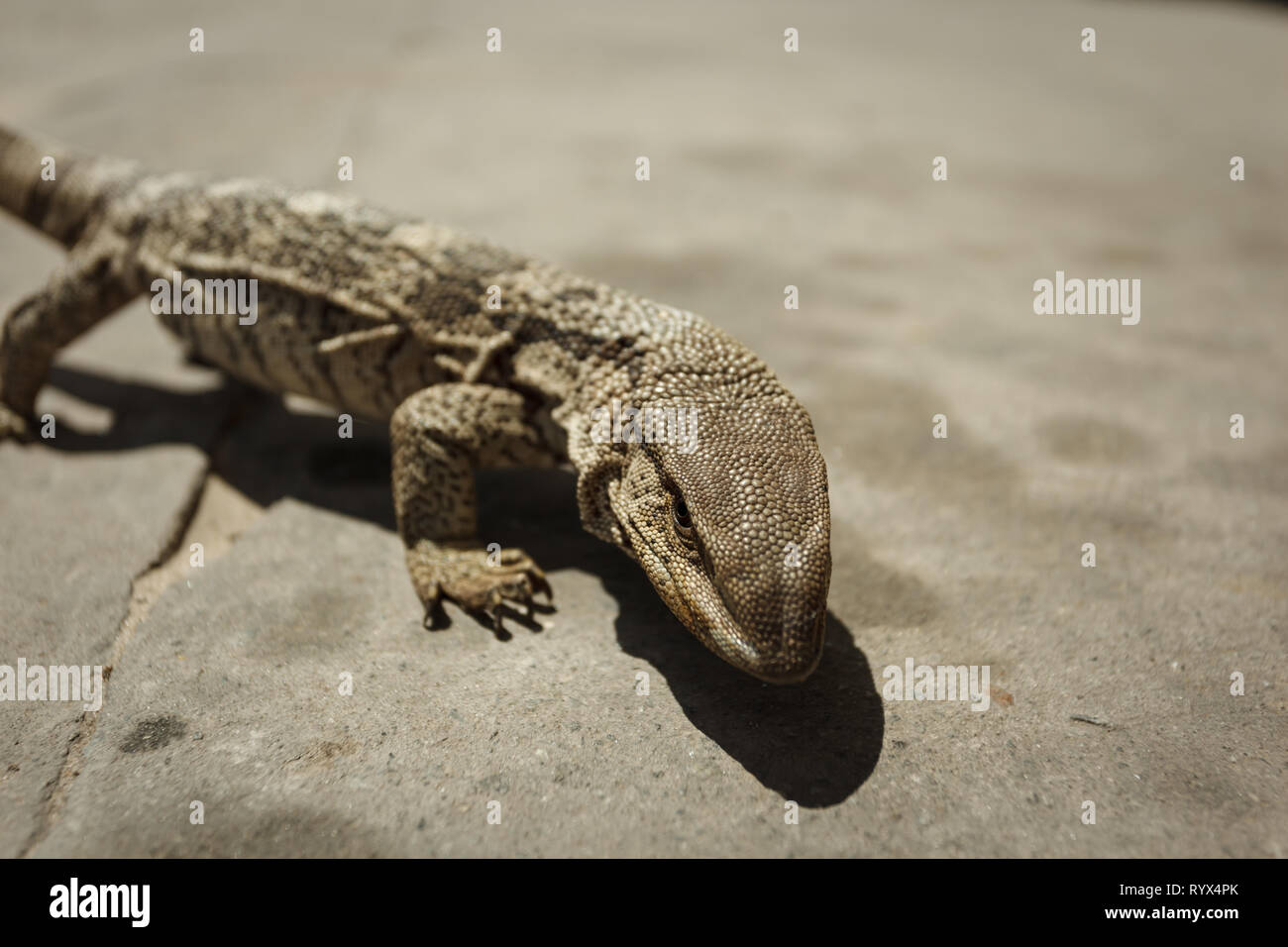 Closeup of head and body of river monitor lizard in desert in Africa Stock Photo