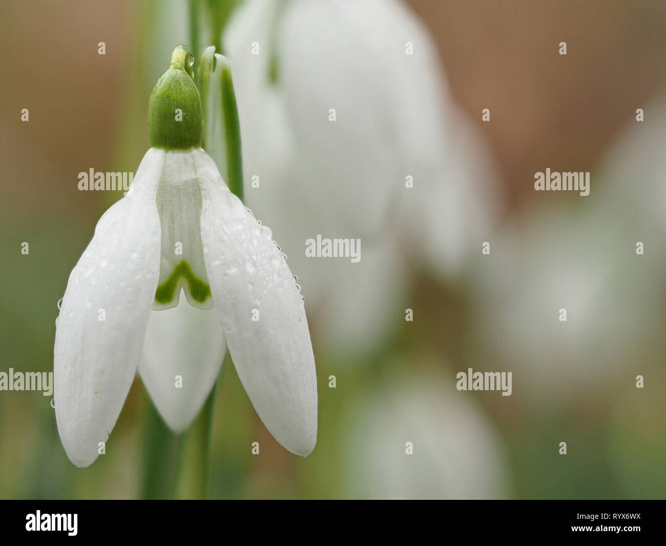 A Snowdrop photo called Water drops on a Snowdrop (Galanthus nivalis). This one is using Olympus in camera focus stacking - Stock Image