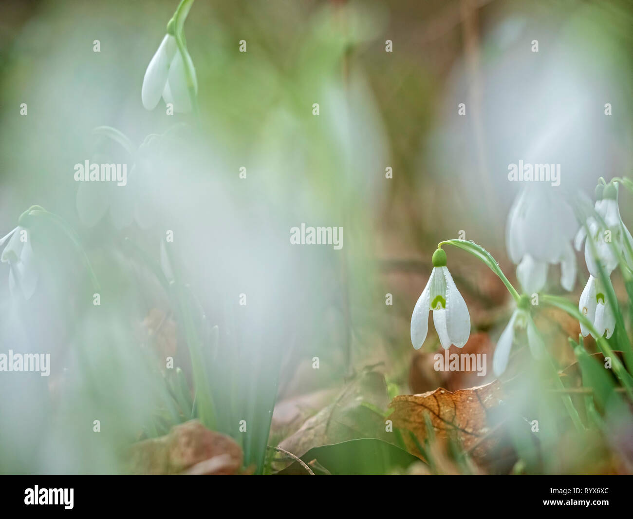 A Snowdrop (Galanthus nivalis) isolated within a bunch of snowdrops. Shot at Garston Wood nature reserve in Dorset. - Stock Image
