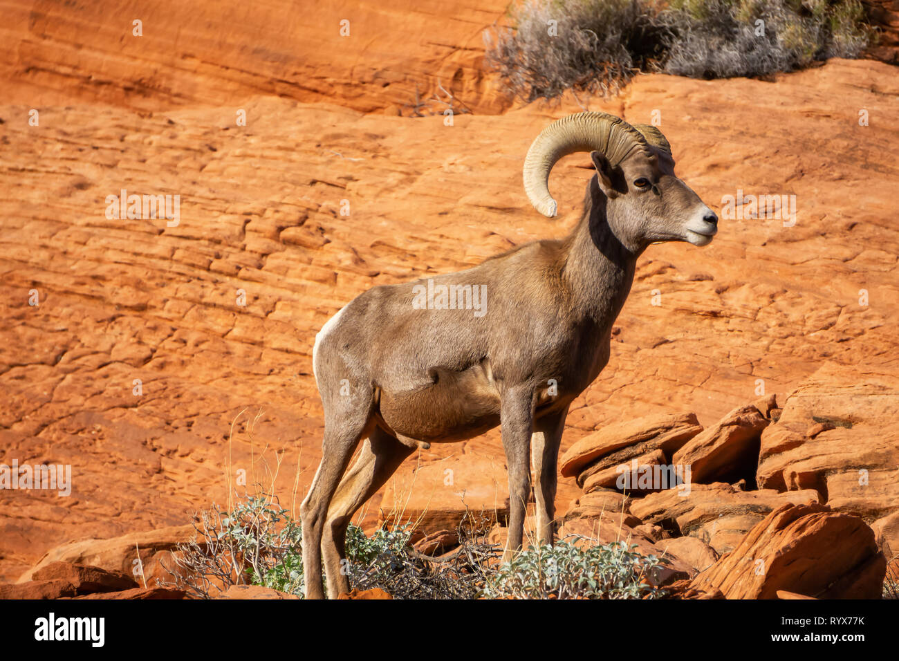 Male Desert Bighorn Sheep In Valley Of Fire State Park Taken In Nevada United States Stock Photo Alamy