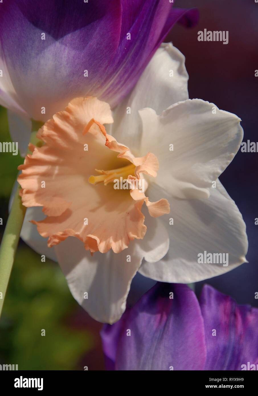 Narcissus 'Mon Cherie' overlapping white perianth segments and soft peachy pink, flared cups is effective with purple pink tulip This bulbous perennia - Stock Image