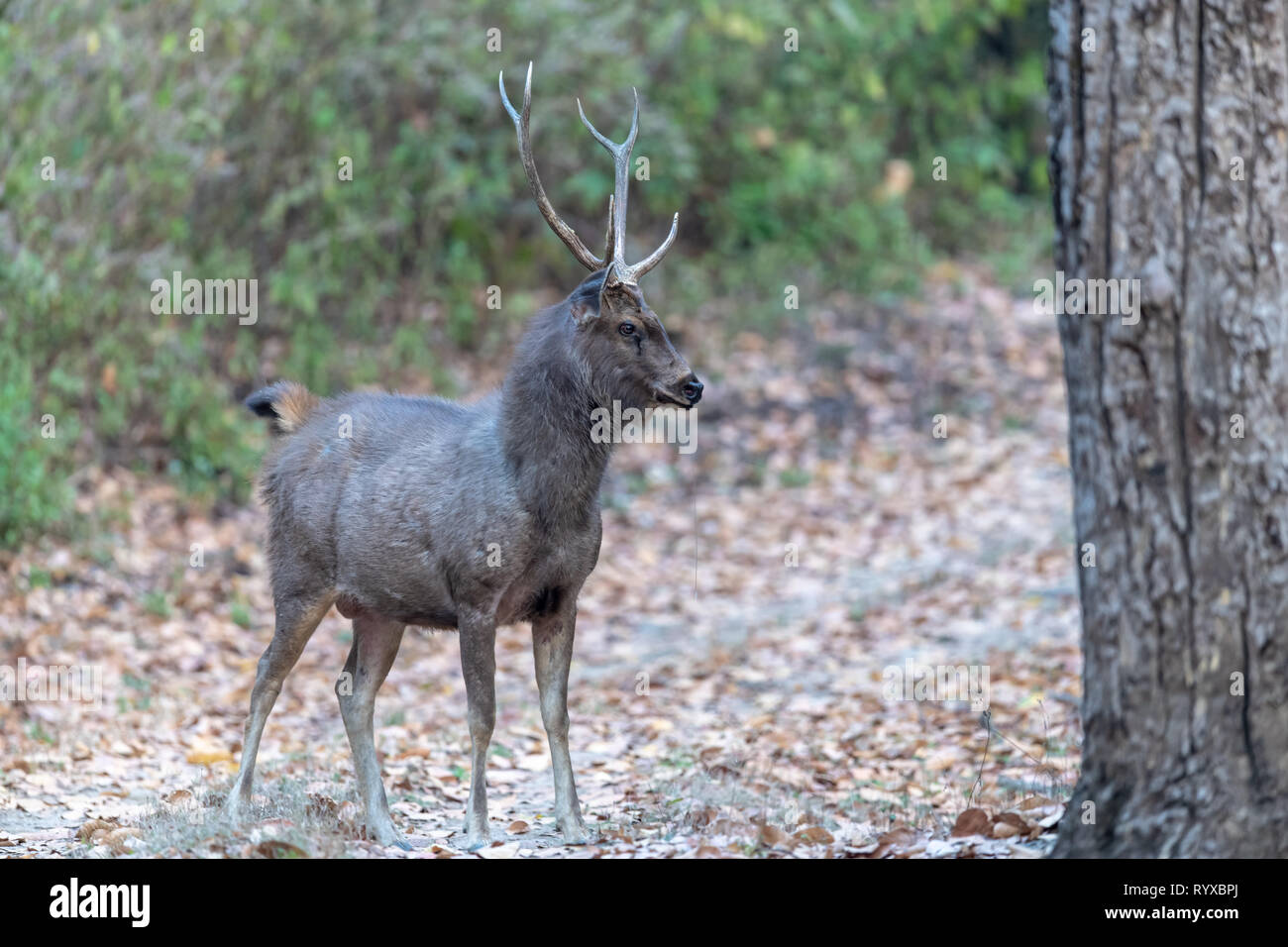 Vulnerable-listed Indian sambar deer (Rusa unicolor unicolor) in India - Stock Image