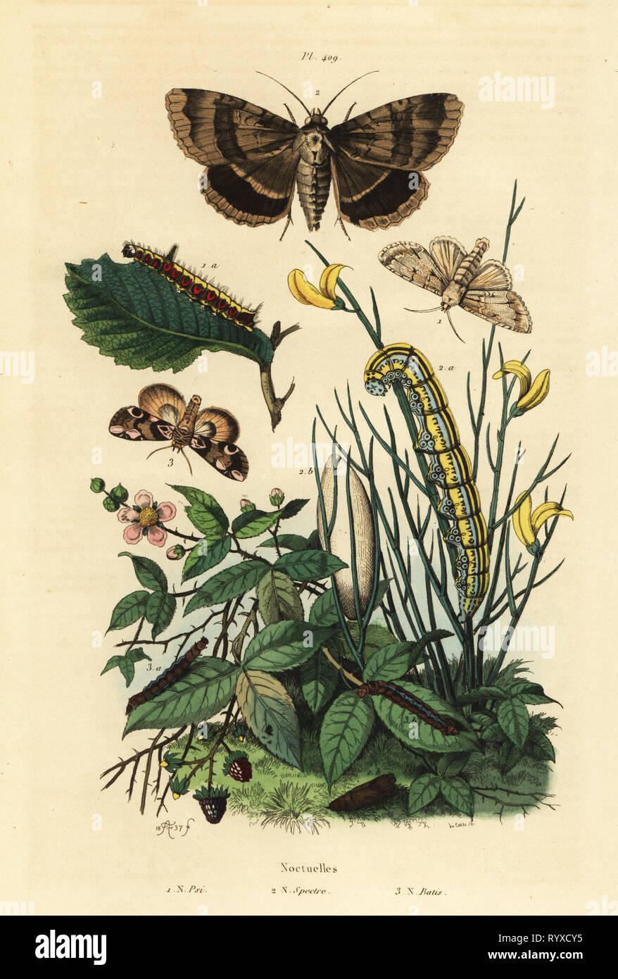 Grey dagger moth and larva, Acronicta psi 1, Apopestes spectrum moth and larva 2, peach blossom moth and caterpillar, Thyatira batis 3. Noctuelles psi, spectre, batis. Handcoloured steel engraving by du Casse after an illustration by Adolph Fries from Felix-Edouard Guerin-Meneville's Dictionnaire Pittoresque d'Histoire Naturelle (Picturesque Dictionary of Natural History), Paris, 1834-39. - Stock Image