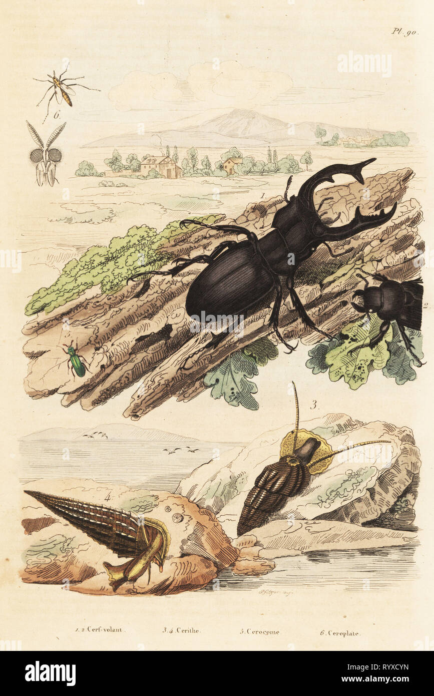 Stag beetle, Lucanus cervus 1, Cerithium sulcatum and Rhinoclavis aspera molluscs 3,4, Cerocoma elateroides 5 and Keroplatus tipuloides wasp 6. Cerf-volant, cerithe, cerocome, ceroplate. Handcoloured steel engraving by Pfitzer after an illustration by Adolph Fries from Felix-Edouard Guerin-Meneville's Dictionnaire Pittoresque d'Histoire Naturelle (Picturesque Dictionary of Natural History), Paris, 1834-39. Stock Photo