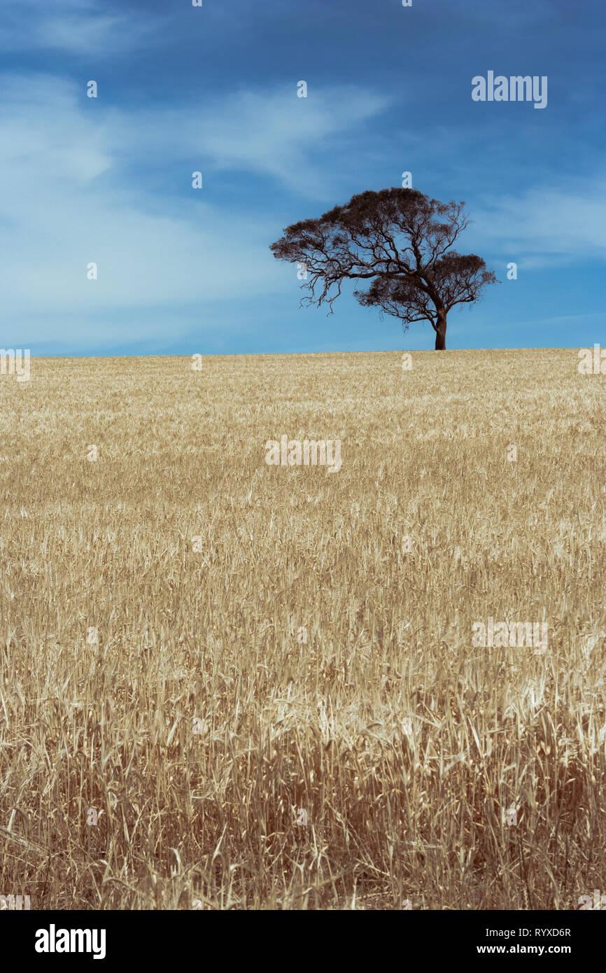 Lone eucalyptus tree in a wheat field Stock Photo
