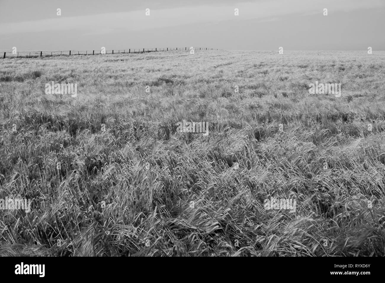 Wheat fields in rural Australia on a sunny day - Stock Image