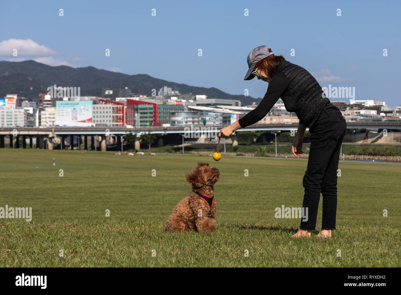 Brown poodle focusing on the ball while playing fetch with its owner. - Stock Image