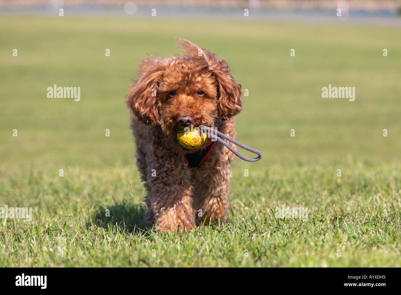 Brown poodle playing fetch on a grass lawn bringing the ball back. - Stock Image