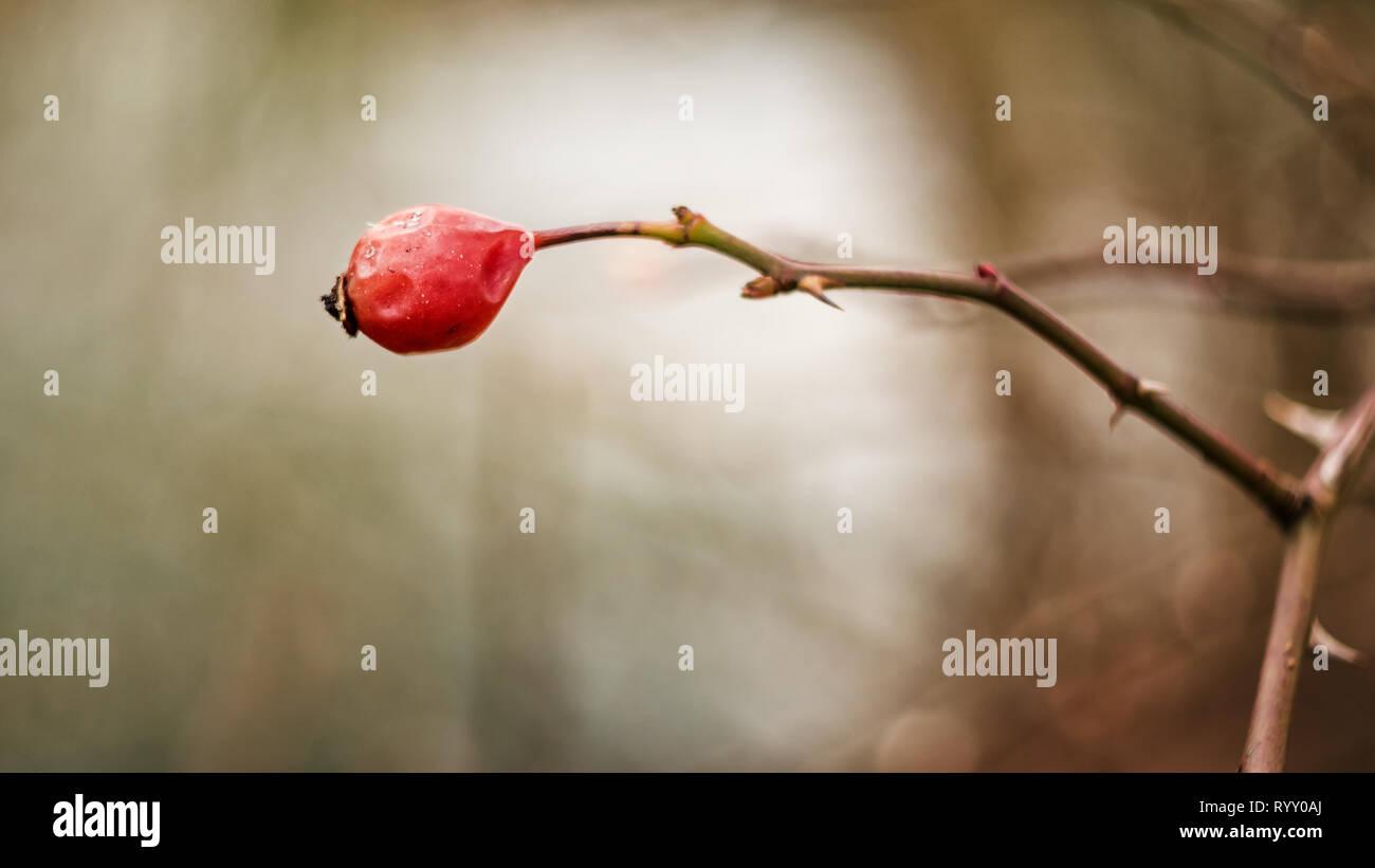 Einzene Hagebutte am Ast mit Dornen - weicher strukturierter Hintergrund - Altglas Fotografie - Stock Image