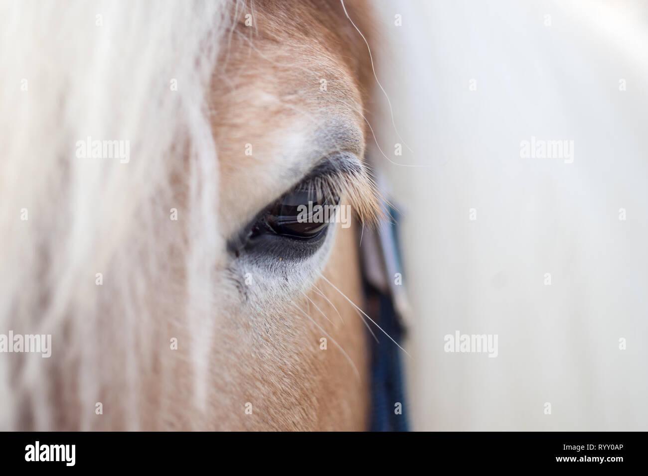 Auge eines Haflinger - Kopf Detail von einem Pferd Stock Photo