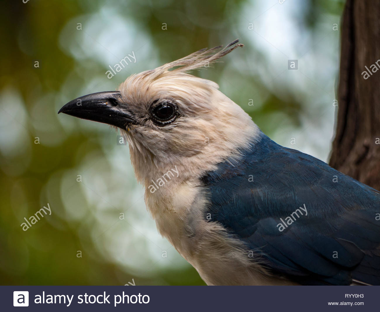 Leucistic white-throated magpie-jay comes close to beg for food.  This particular bird was well know among birders who visited Ometepe Island. - Stock Image