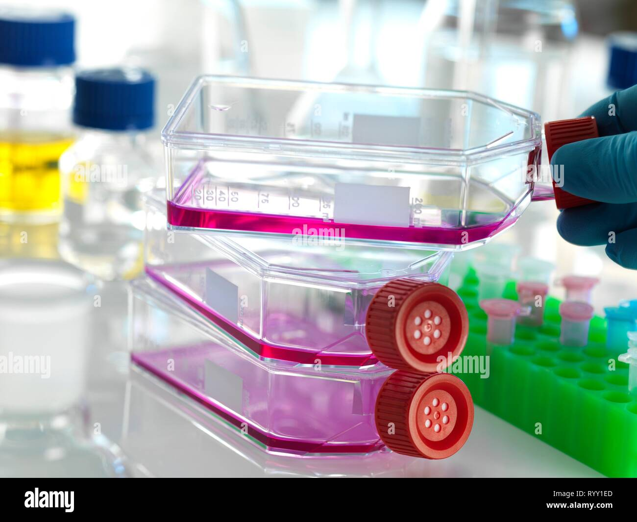 Flask containing stem cells, cultivated in red growth medium in the laboratory. - Stock Image