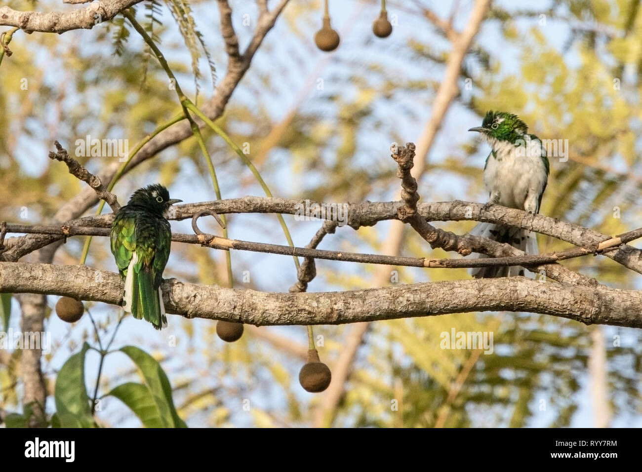 Klaas's Cuckoo, two males perched on branch in Makasutu Forest, Gambia 3 March 2019 - Stock Image